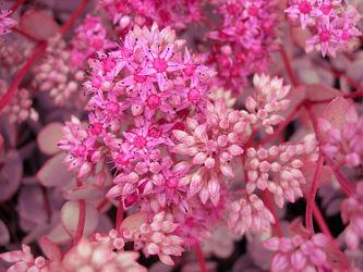 Bild mit Pflanzen,Blumen,Rosa,Blume,Pflanze,Blüten,Gartenblumen,blüte,pink