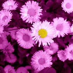 Bild mit Pflanzen, Blumen, Lila, Blume, Pflanze, Blüten, Gartenblumen, pink