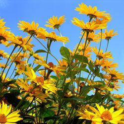 gelber Sonnenhut - Blumen