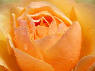 Bild mit Orange, Blumen, Rosen, Blume, Rose, Blüten, Gartenblumen, blüte