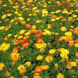 Feld mit Ringelblumen - Sommer