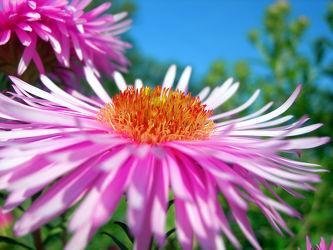 Asternblüte - Aster - Blüte