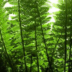 Wald - Farn im Gegenlicht