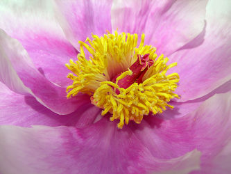 Bild mit Blumen, Rosen, Blume, Rose, Makro, Blüten, Makros, Gartenblumen, garten, blüte