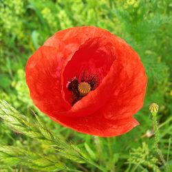 Bild mit Blumen, Mohn, Blume, Klatschmohn, Mohnfeld, Feld, Felder, Blüten, Gartenblumen, blüte