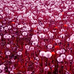 Bild mit Rot, Wiese, Abstrakt, Löwenzahn, Pusteblume, Pusteblumen, pink, Wiesen