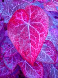 Bild mit Pflanzen, Lila, Blätter, Pflanze, Blatt, Abstrakt, pink, herzblatt