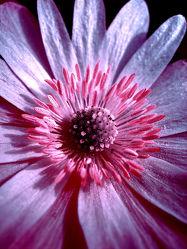 Bild mit Pflanzen,Blumen,Rosa,Blume,Pflanze,Blüten,blüte,pink
