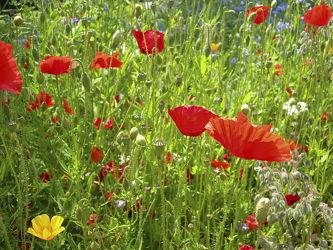 Sommerwiese mit roten Mohn - Blüten