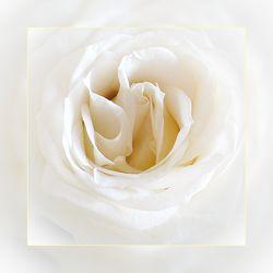 Bild mit Blumen, Rosen, Rose, Rosenblüte, weiße Rose, Blüten, blüte, rosenblüten