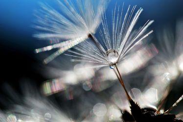 Bild mit Pflanzen, Blumen, Blume, Pflanze, Regentropfen, Löwenzahn, Pusteblume, Flora, Pusteblumen, Abendlicht, Samen
