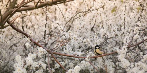Bild mit Tiere, Vögel, Apfelbaum, Tier, Blüten, blüte, Meise, Kohlmeise