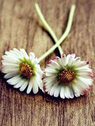 Bild mit Pflanzen,Blumen,Blume,Pflanze,gänseblümchen,VINTAGE