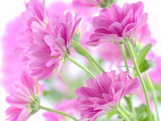 Bild mit Blumen, Rosa, Blume, romantik, pink, romantisch, harmonie, Chrysantheme