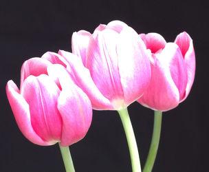 Tulpe10