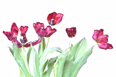 Tulpe18