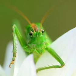 Bild mit Augen,Grün,Blumen,Weiß,Insekten,Dahlien,Makro,Kopf,Tettigonia viridissima,Grünes Heupferd