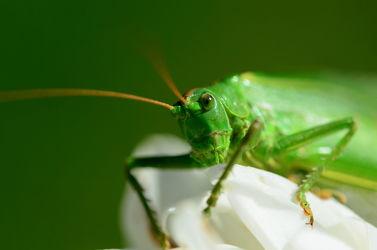 Bild mit Augen,Grün,Blumen,Weiß,Insekten,Dahlien,Kopf,Tettigonia viridissima,Grünes Heupferd