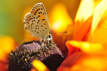 Bild mit Blumen, Insekten, Schmetterlinge, Blume, Makro, Blüten, Schmetterling, blüte, butterfly, Insekt