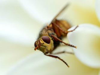 Bild mit Augen,Blumen,Weiß,Herbst,Insekten,Dahlien,Fliegen,Makro,garten,Fliege