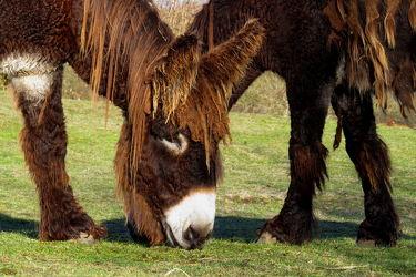 Bild mit Säugetiere, Frankreich, Esel, Esel, Poitou, Poitou, Tierrasse, Gefährdet, Gefährdete, Gebiet, Arche, Eselspaar, Zentrum, für, seltene, Nutztierrassen, Tierpark, Großeselrasse, Westen, Warder, Warder