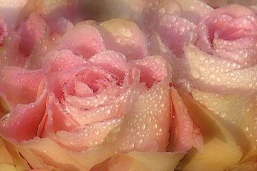 Bild mit Rosen, Regentropfen, Schönheit, Extras, Tauperlen, Edelrosen, Anmut, Tränen, Freude, Leid, Betrübnis