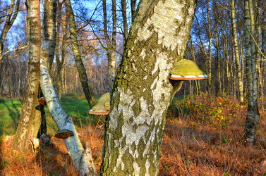 Bild mit Natur, Landschaften, Bäume, Wälder, Birken, Wald, Baum, Birke, Pilze, pilz