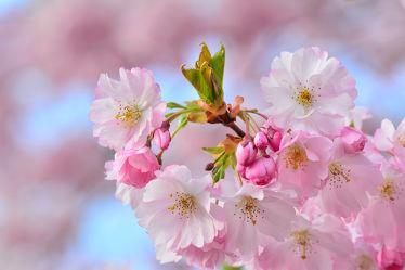 Bild mit Rosa,Frühling,Frühling,Blüten,garten,nahaufnahme,frühjahr,Japanische_Zierkirsche