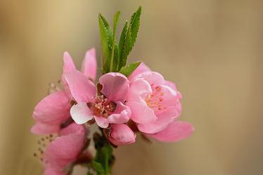 Bild mit Grün,Rosa,Frühling,Frühling,Sonne,Blätter,Licht,garten,Wärme,terrasse,Nektarinenblüte,Windgeschützte_Lage,Balkon