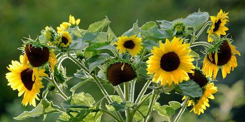 Bild mit Gelb,Grün,Herbst,Herbst,Braun,Sonnenblume,Felder,garten,Bauerngärten,Sonnenblumenkopf,Breitbild