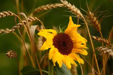 Bild mit Herbst,Herbst,Sonnenblume,Herbststimmung,Korn,Ãhren,Herbstidylle