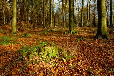 Bild mit Bäume, Herbst, Herbst, Sonne, Waldboden, Licht, Bunt, farbig, Wandern, Wanderwege, Schleswig_Holstein, Baumstumpf, Laub, Naturpark, Herbstidylle, Hüttener_Berge