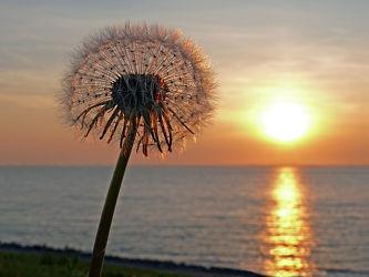 Bild mit Pflanzen, Meer, Löwenzahn, Pusteblume, Küste, Schönheit, Strand / Meer, Abendlicht, Ausspannen, Geniessen, Idylle, Deiche
