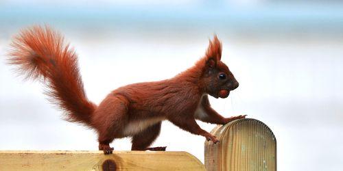 Bild mit Säugetiere, Blau, Braun, Nuss, Nüsse, Eichhörnchen, Zaun, Bretterzaun, Fliehend, Futterraub, Futterplatz, Sicherheit