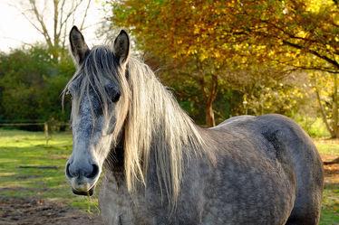 Bild mit Säugetiere, Säugetiere, Herbst, Haustiere, Sonne, Pferde, Sonnenschein, Gegenlicht, Kinderzimmer, Pferd, Mähne, grau, Koppel, Arbeitstiere, Schimmel, Zugtiere, Pferdeliebe, pferdebilder, pferdebild