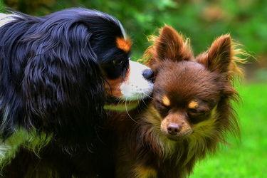 Bild mit Säugetiere, Säugetiere, Haustiere, Hunde, Hund, Treue, Freundschaft, Emotionen, Porträt, Hündin, Freud, Zwergspaniel, Anhänglichkeit, Rasse, Populärste, Rassen, Beachtung, Cavalier_King_ Charles_ Spaniel