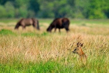 Bild mit Säugetiere,Sommer,Pferde,Landschaft,Wiese,Felder,Abendsonne,Rehe,Rehbock,Erblickt,Schutz,Deckung,Miteinander,Pferdekoppel