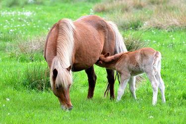 Bild mit Tiere, Säugetiere, Sport, Trinken, Pferde, Pferde, Tier, Nahrung, Kinderbild, Kinderbilder, Kinderzimmer, Pferd, Pferd, Kind, Freundschaft, Weide, reiten, reiten, landwirtschaft, Fohlen, Mutter, Tierliebe, Haustier, Säugen, Pferdeliebe, pferdebilder, pferdebild