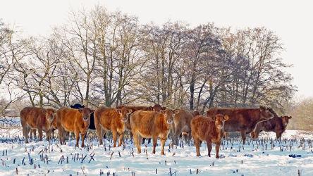 Bild mit Säugetiere, Bäume, Winter, Schnee, Sträucher, Winterzeit, Frost, Stoppelfeld, Fleischrinder, Nutztiere, Winterweidehaltung, Limousin_Rind