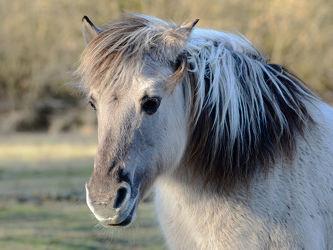 Bild mit Tiere, Säugetiere, Säugetiere, Haustiere, Pferde, Gegenlicht, Kinderzimmer, Pferd, Kopf, Mähne, Huftiere, Arbeitstiere, Profil, Pferdeprofil, Schimmel, Blicke, Begrüßungblick, Willkommensblick