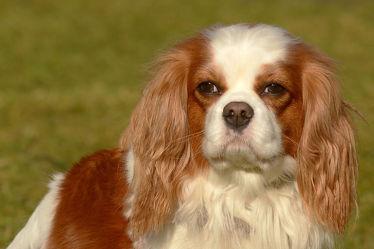 Bild mit Säugetiere, Haustiere, Hunde, Portrait, Cavalier_King_Charles_Spaniel, Braun_weiß, Blenheim, Kamerad, Spielkamerad, Hofhund, Englischer_Hofhund