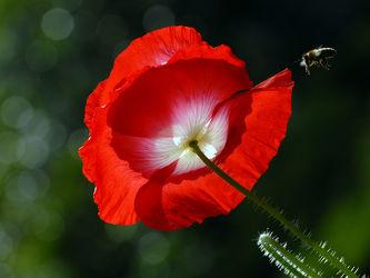 Bild mit Grün,Blumen,Weiß,Rot,Insekten,Sonne,Mohnblüte,Gegenlicht,Licht,Felder,garten,Wiesen,Biene