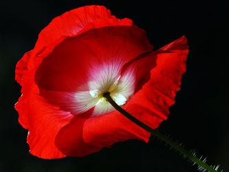 Bild mit Grün, Blumen, Weiß, Rot, Mohn, Sonne, Mohnblüte, Licht, Froschperspektive, Stengel