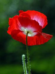 Bild mit Grün, Blumen, Weiß, Rot, Mohn, Mohnblume, Dunkler_Hintergrund, Mohnblumenstengel, Rotweiß