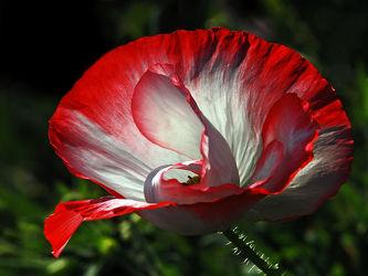 Bild mit Blumen, Parks, Mohn, Mohnblume, Mohnblüte, garten, Weiß_Rot