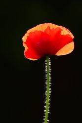 Bild mit Orange, Grün, Blumen, Blumen, Rot, Mohn, Sonne, Gegenlicht, Felder, Schönheit, garten, leuchtend, Wiesen, Idylle, Bauerngärten, Mohnstengel