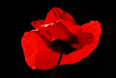 Bild mit Grün, Blumen, Rot, Schwarz, Mohn, Mohnblume, Mohnfeld, Gegenlicht, Mohnblumen