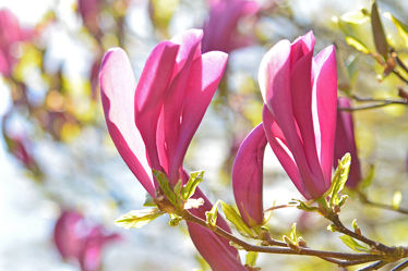Bild mit Rosa, Frühling, Rot, blüte, Magnolie, Tulpenbaum, Magnolienblüte