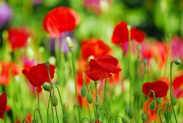 Bild mit Blumen, Mohn, Blume, Mohnblume, Mohnfeld, Mohnblumen, garten, Mohnblumenbauerngarten, Mohnfelder