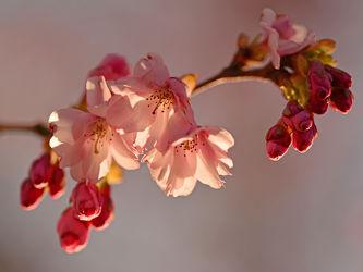 Bild mit Rosa,Frühling,Frühling,Blüten,Zweige,Zierkirschenblütenzweig,Zierkirsche,Weißrosa